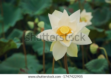 White lotus flower or water lily. Royalty high-quality free stock image of white lotus flower. The background is lotus leaf and lotus bud in a pond. Beautiful sunlight and sunshine in the morning #1747422905