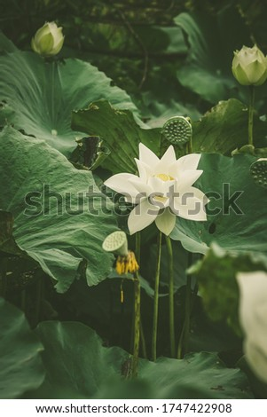 White lotus flower or water lily. Royalty high-quality free stock image of white lotus flower. The background is lotus leaf and lotus bud in a pond. Beautiful sunlight and sunshine in the morning #1747422908