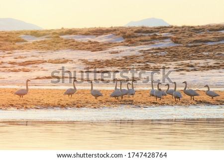 Tundra swans (Cygnus columbianus). Beautiful morning landscape with a flock of wild swans in the tundra by the river. Birdwatching in the natural habitat. Wildlife of the Arctic. Chukotka, Russia.