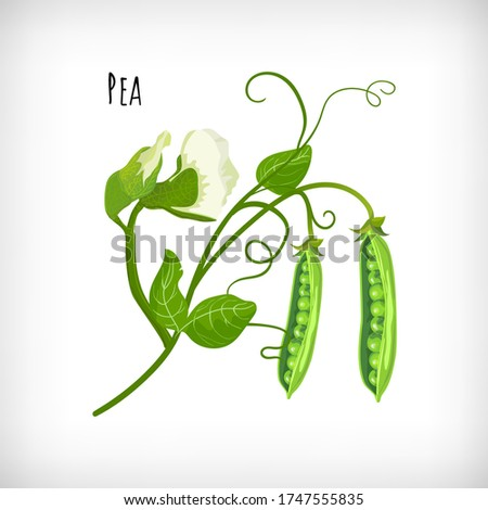 Green pea plant, pea flowers, pea open pods, green leaves in flat style on white background. Vegetable organic eco bio farm products. Lettering Pea. Hand drawn image. Vector illustration. Royalty-Free Stock Photo #1747555835