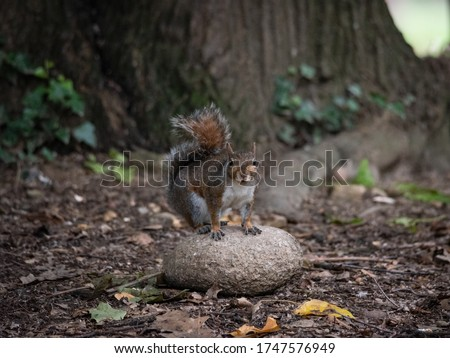 Free gray squirrel in a city park, small rodent