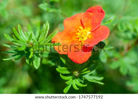Potentilla  Fruticosa Red Ace a summer flower plant known as cinquefoil Royalty-Free Stock Photo #1747577192