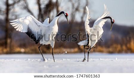 Two Japanese Cranes are dancing on the snow. Japan. Hokkaido. Tsurui. Royalty-Free Stock Photo #1747601363