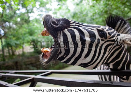 Zebra with it's mouth wide open as if it were shouting . funny photo.