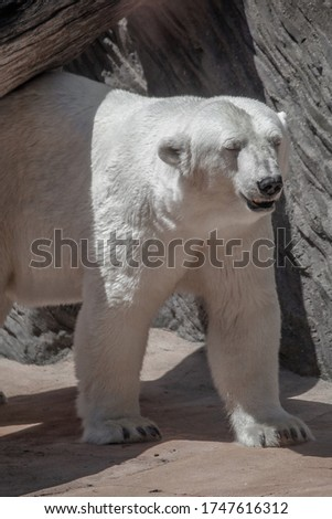 Polar bear goes for breakfast