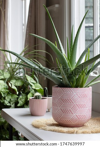 indoor house pot plants . potted aloe vera plant in pink pot.  Royalty-Free Stock Photo #1747639997