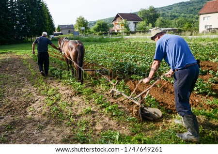 Horses Ploughing potatoes field in spring. Farmers with plough horse ploughing field. Ridging up potato plants. Earth up potatoes. Agriculture. Working with land #1747649261