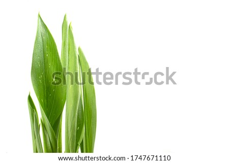 Isolated pictures of a growing leaf of a Calla Lily flower