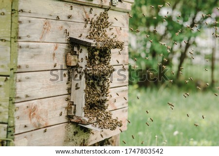 Bees flying back in hive after an intense harvest period. Swarm of bees in flight at beehive entrance on a sunny day. Hive of bees in the apiary in spring.