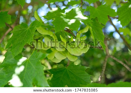 Bunch of fruits of Acer platanoides, also known as Norway maple. The fruit is a double samara with two winged seeds. #1747831085