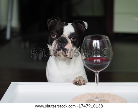 Dog stock photo, Doggy pic, Boston terrier image, Funny dog photo, Black and white dog, Cute funny boston terrier dog posing with a glass of wine - Stop alcoholism, drugs and addiction, Terrier photo