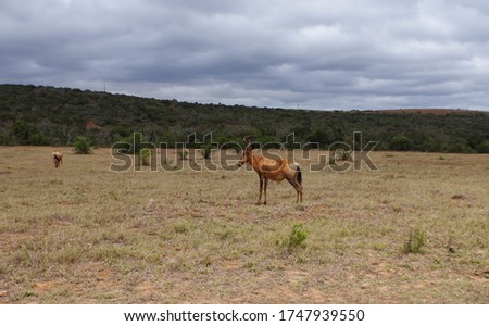 Alcelaphus Cow antelope in the nature reserve in the National Park South Africa #1747939550