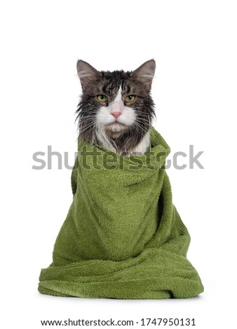 Wet freshly washed adult Norwegian Forestcat, sitting facing front wrapped up in green towel. Looking annoyed to camera. Isolated on white background. #1747950131