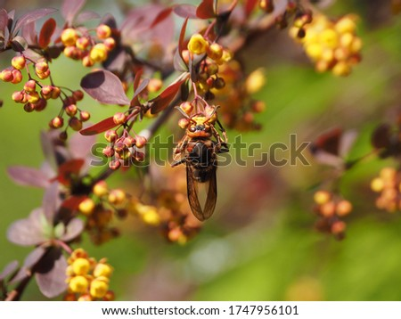 The dangerous insect Vespa crabro collects nectar from the yellow flowers of Berberis thunbergii in the spring garden. A picture of springtime wildlife