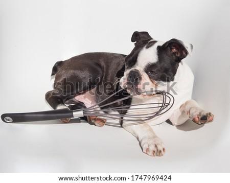 Sweet dog photo, Cooking image, Baking image, Dog stock photo, Black and white pet, Doggy pic, Doggie picture, Funny dog photo, Silly dog photo, Pet stock image, Picture for wallpaper, Super cute pic