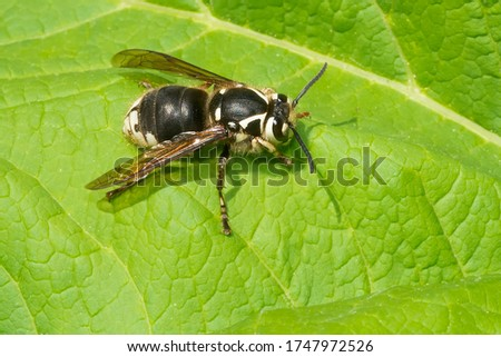 A Bald-faced Hornet queen is resting on a green leaf. Also known as a Blackjacket, Bull Wasp, and White-faced or White-tailed Hornet. Taylor Creek Park, Toronto, Ontario, Canada.