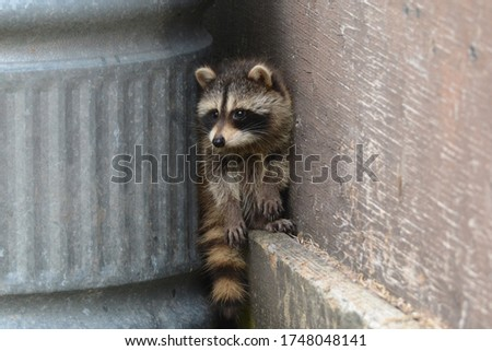 Baby raccoons exploring around barn yard