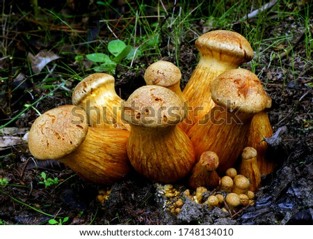 Close-up picture of mushroom, Gymnopilus. This impressive mushroom is found growing in dense clusters on stumps and logs of both hardwoods and conifers