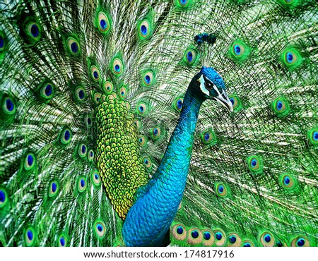 Portrait of beautiful peacock with feathers out #174817916