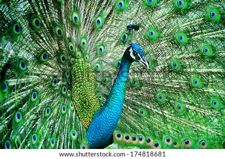 Portrait of beautiful peacock with feathers out #174818681