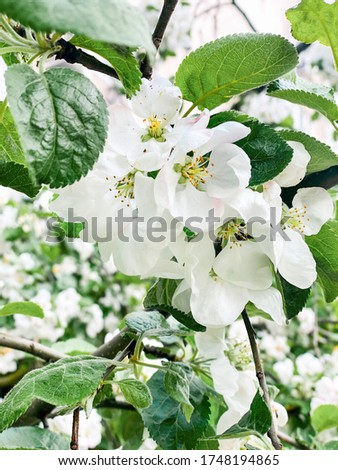 Apple blossoms green background bright spring picture of a blooming Apple tree