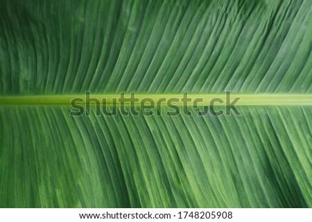 Fresh green banana leaf picture