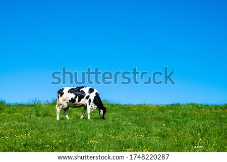 A black and white cow grazing on the pasture during daytime Royalty-Free Stock Photo #1748220287