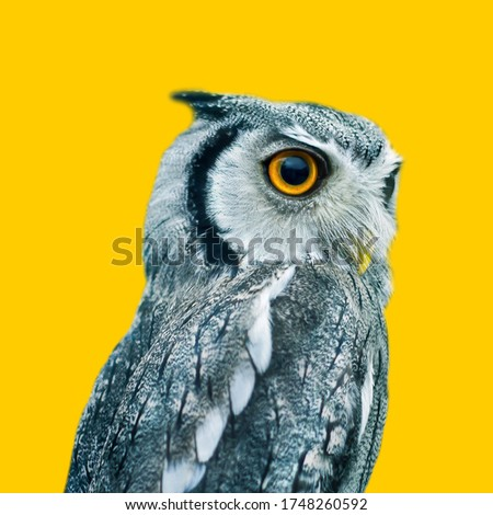 Picture of a big-eyed, gray colored, side-facing owl. Isolated on yellow background.