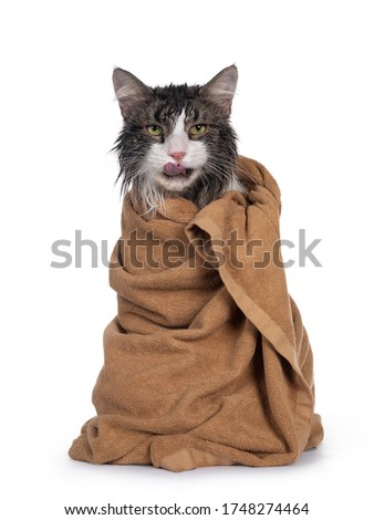 Wet freshly washed adult Norwegian Forestcat, sitting facing front wrapped up in brown towel sticking out tongue. Looking annoyed to camera. Isolated on white background. #1748274464