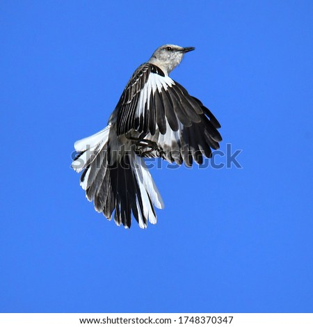 Northern Mockingbird Suspended In Flight Trying To Catch Insects