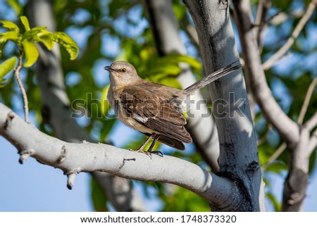 Colorful Northern Mockingbird Perched In Tree All Fluffed Up With Tail At Attention