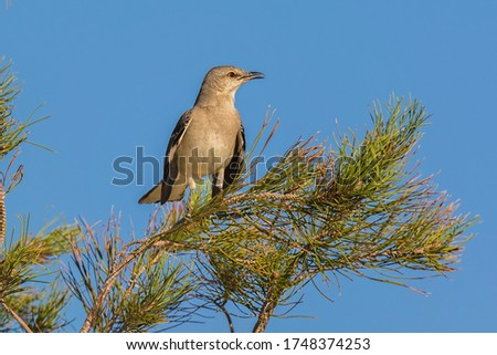 Northern Mockingbird Perched In Pine Tree With Vivid Blue Sky Background