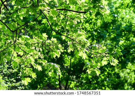 Summer green tree foliage background. Summer foliage green sun rays #1748567351