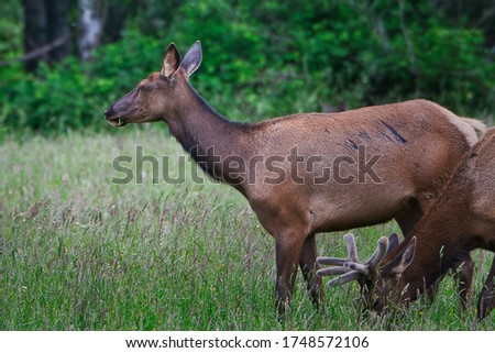 A FEMALE ROOSEVELT ELK IN THE SNOQUALMIE VALLEY NERA NORTH BEND WASHINGTON