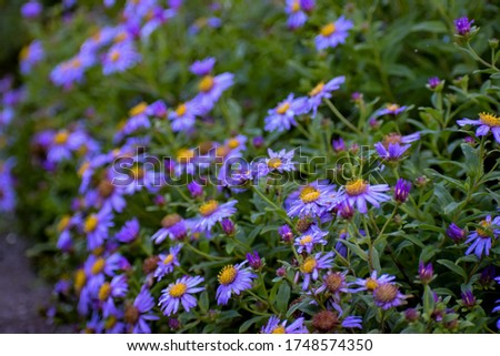 Himalayan flower Aster Albescens (Fading Himalayan Aster, Lilac Himalayan Aster, Aster Linnaeus) in bunch. Monsoon in Valley of Flowers National Park,a unesco world heritage site in Uttarkhand, India. #1748574350