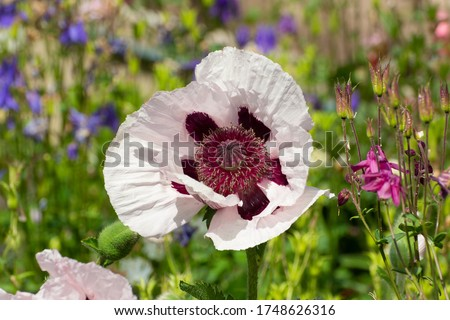 Close up of a white and purple oriental poppy, Papaver orientale or royal wedding. Royalty-Free Stock Photo #1748626316