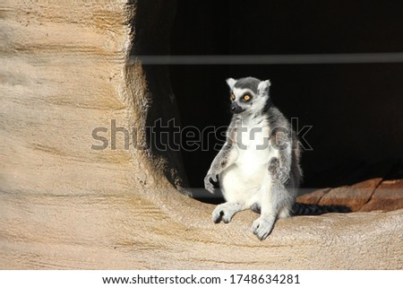 a ring-tailed lemur sitting on the tree