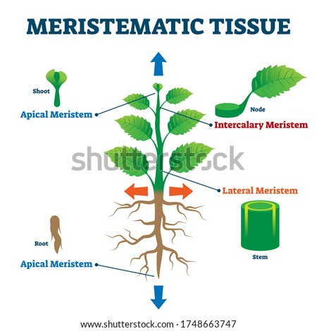 Meristematic tissue vector illustration. Labeled educational plant structure scheme. Biological description with apical, intercalary, lateral and apical meristem parts. Shoot, node, root and stem info #1748663747