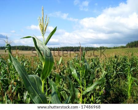 field of corn #17486968