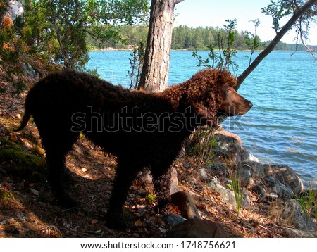 Sweet rare young Irish water spaniel eager to go swimming in the sea in Nordic nature. #1748756621