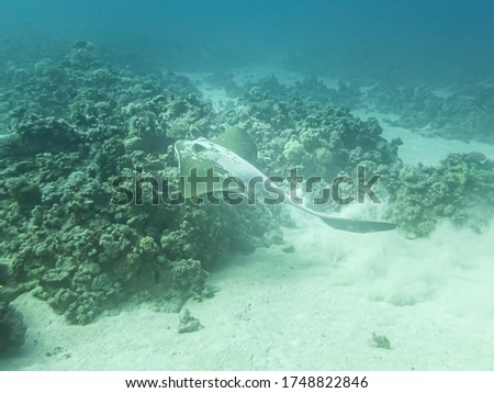 Cowtail stingray (Pastinachus sephen) is a species of stingray in the family Dasyatidae. Picture from a Red Sea reef near Hurghada, Egypt
