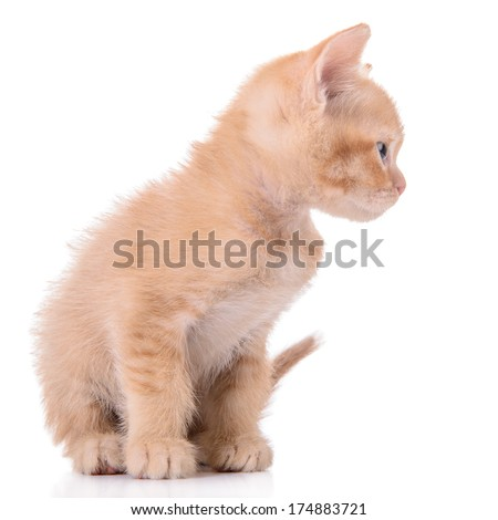 small red kitten Scottish breed. animal isolated on white background #174883721