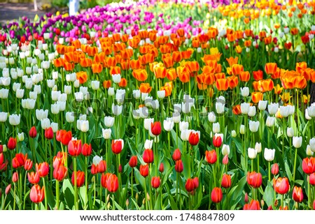 Tulip flowers in spring park garden. Colorful tulips flowers #1748847809