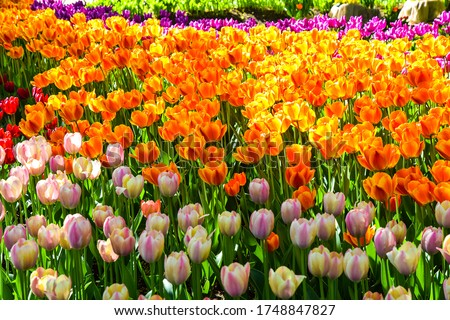 Colorful tulip flowers garden view. Orange pink soft tulips flowers