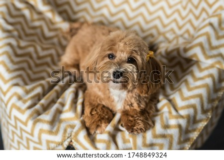 Toy poodle lying on white yellow cover and look in camera. Close up portrait of ginger dog