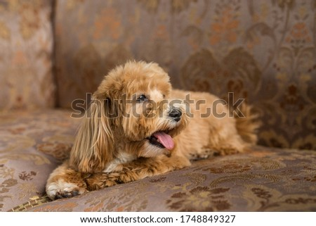 Toy poodle lying on brown sofa and show tongue to the side. Close up portrait of ginger dog