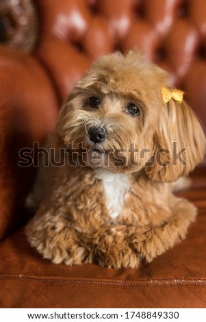 Toy poodle lying on brown sofa and look in camera. The close up portrait of ginger dog with yellow hairpin
