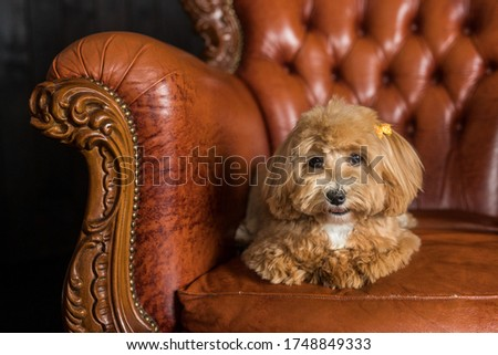 Toy poodle lying on brown sofa and look in camera. The portrait of ginger dog