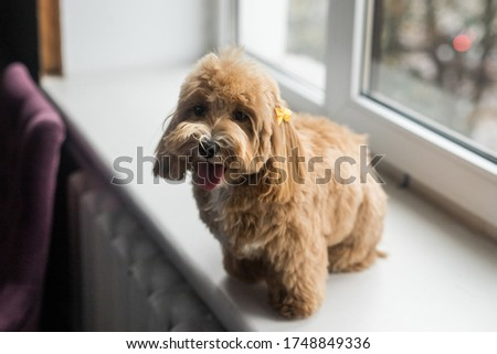 Toy poodle lying on white windowsill and look in camera. Close up portrait of ginger dog