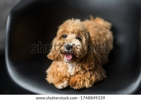 Toy poodle lying on black chair and show tongue in camera. Close up portrait of ginger dog